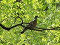 Pigeon on branch of tree common wood Royalty Free Stock Photos