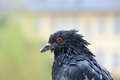 Pigeon with bread crumbs on beak a close up of a wet its Royalty Free Stock Images