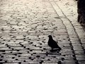 Pigeon in catherine passage of tallinn old town sunny day spring Royalty Free Stock Photo