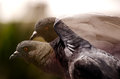 The pigeon double exposure close up of a flapping it s wings Royalty Free Stock Image