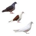 Pigeon Dove Isolated Bird Set ...
