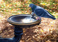 Pigeon at drinking fountain Stock Photos