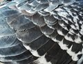 Pigeon feathers Royalty Free Stock Photo