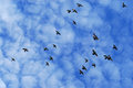 Pigeon flock flying in blue sky with clouds Stock Image