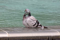Pigeon in fountain standing water of Royalty Free Stock Photography