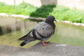 A Pigeon In Front Of Ter River