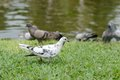 Pigeon grey pigeons bird walk in the garden Royalty Free Stock Photo
