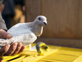 Pigeon in hand man holding grey his hands and showing its beautiful and healthy wing Royalty Free Stock Photos