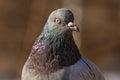 Pigeon Head Detail Closeup