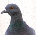 Pigeon head eye face close up eye close up face close up Royalty Free Stock Photo