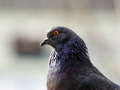 Pigeon Head And Neck
