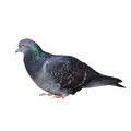 pigeon isolated on white Royalty Free Stock Photo