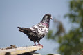 Pigeon on a ledge with black white and blue feathers sits preparing to fly Royalty Free Stock Photo