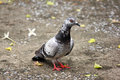 Pigeon living under the ground Stock Photo