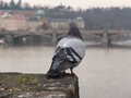 Pigeon looking from bridge Royalty Free Stock Photo
