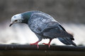 Pigeon looking down Royalty Free Stock Photo