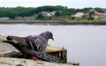Pigeon Looking Out At The River Royalty Free Stock Photo