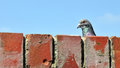 Pigeon Looking Over A Wall Royalty Free Stock Photo