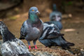 Pigeon In Nature