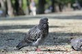 Pigeon on the park footpath standing lazy at noon in Stock Photo