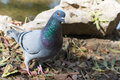 Pigeon in the park looking in the camera Royalty Free Stock Photo