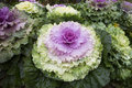 Pigeon pink looked like flower with wavy leaves ornamental kale Royalty Free Stock Image
