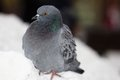 Pigeon single sittin on the snow in the city Stock Photos