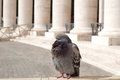 Pigeon sleeping in the san peter square beautiful rome italy Stock Photos