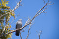 Pigeon on a tree standing still with sky background Royalty Free Stock Image