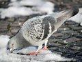 Pigeon trying to find food on snow winter view of one pingeon some covered pavement in town it is rock dove columba livia or rock Stock Photos