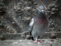 Picture : Urban pigeon fall  environment
