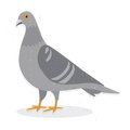 Pigeon vector illustration of a common isolated on white background Stock Images