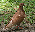 Pigeon vermeil Photos stock