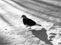 Pigeon walking in winter park Royalty Free Stock Photos