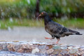 Pigeon walks on the edge of fountain Royalty Free Stock Photo