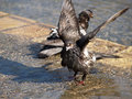 Pigeon washing a wet splashes and washes in a puddle with its wings outstretched Stock Image