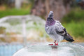 Pigeon on water fountain Royalty Free Stock Image