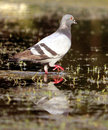 Pigeon on water