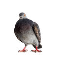 Pigeon on a white background close up Royalty Free Stock Photos