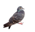Pigeon on a white background close up Stock Image