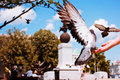 Pigeons de alimentation en parc Photo stock