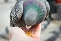 Pigeons feeding and balancing on hand Royalty Free Stock Photography