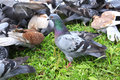 Pigeons on the Grass Royalty Free Stock Photography