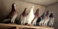Pigeons birds Royalty Free Stock Photo
