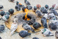 Pigeons Keeping Warm Royalty Free Stock Photo