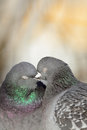 Pigeons kissing. Royalty Free Stock Photo