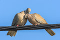 Pigeons in love game Royalty Free Stock Photo