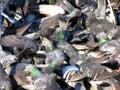 Pigeons manic crowd Stock Photography