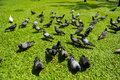 Pigeons many stand in grass Royalty Free Stock Photo