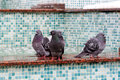 Pigeons on margin of fountain Stock Image